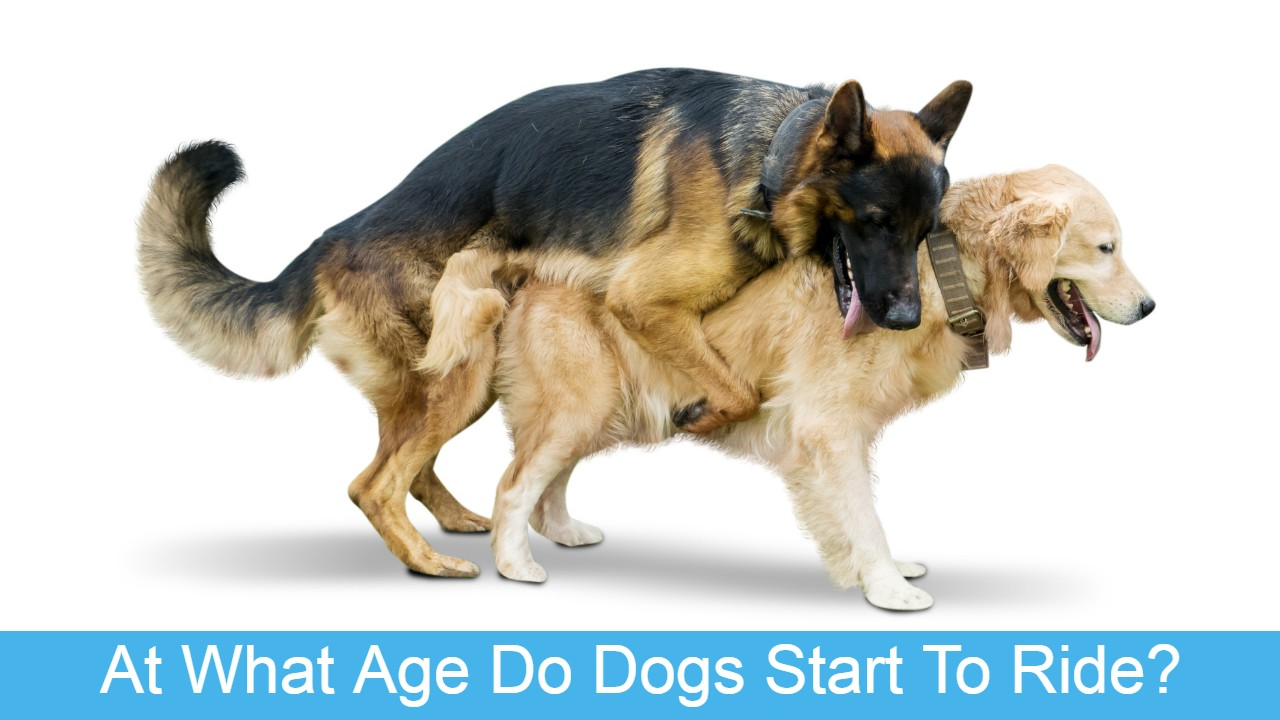 When is a female dog too old to breed