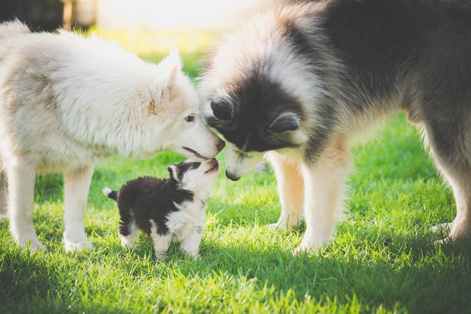 What is the oldest age a dog can have puppies