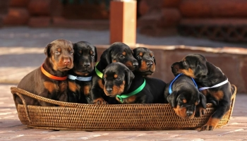 Doberman Puppies For Sale Near Me